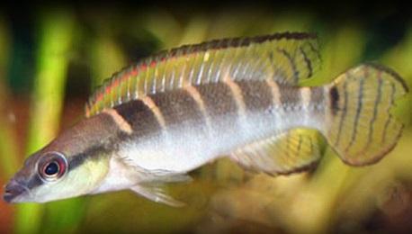 Crenicichla Wallaci compressiceps
