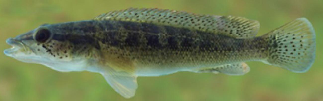Crenicichla iguassuensis