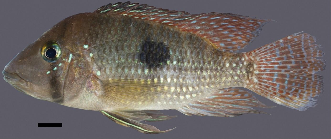 Geophagus-multiocellatus