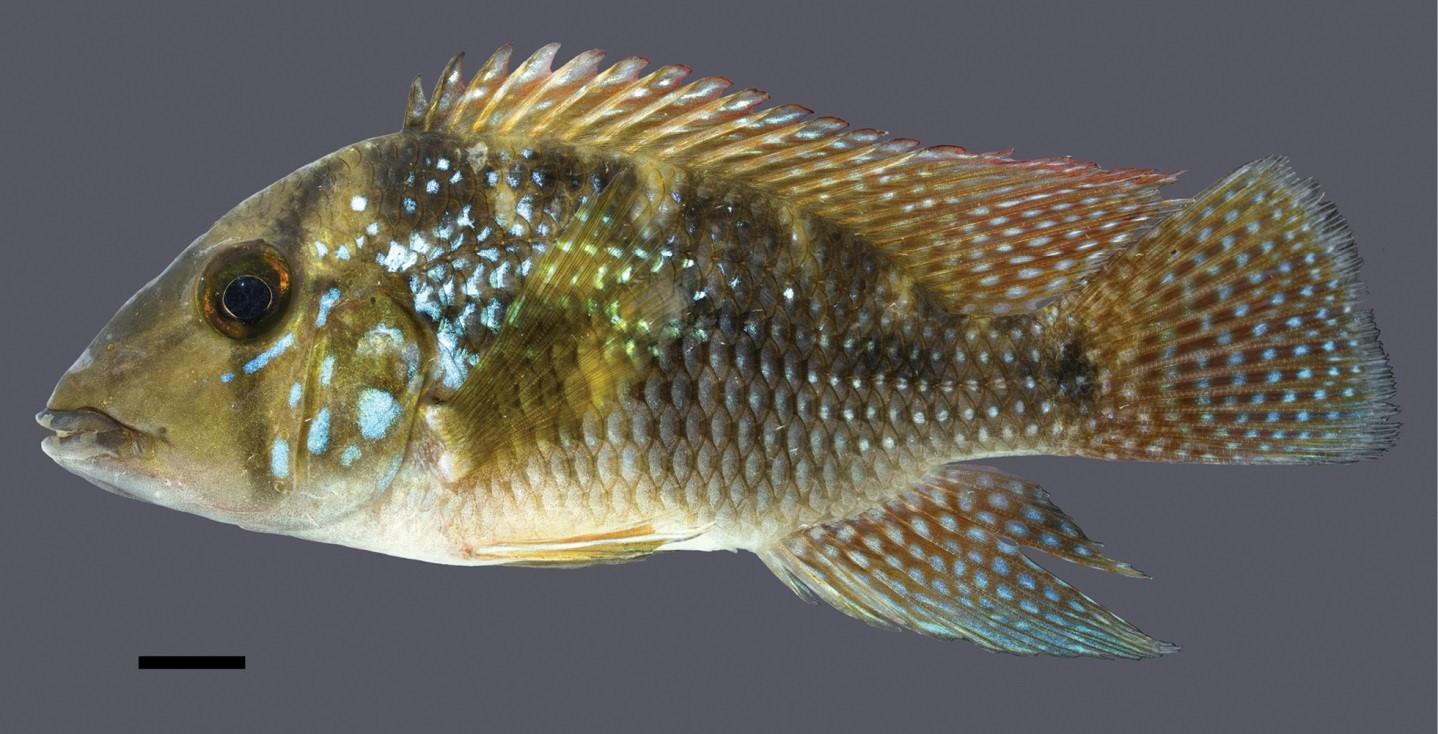 Geophagus-rufomarginatus